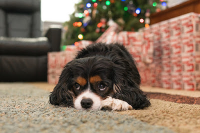 A black, brown and white dog is lying on carpet with a Christmas tree visible in the background