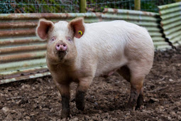 Pigs and mice can breathe through their anus – and humans may be able to as well