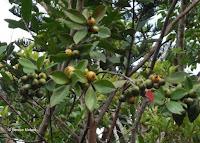 Green-yellow fruits - Ho'omaluhia Botanical Garden, Kaneohe, HI