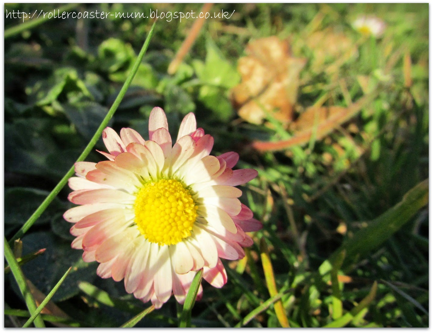 Pink and white daisy flower