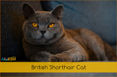 British Shorthair Cat, Breed cat