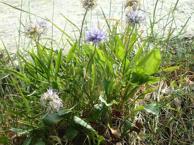 Phyteuma serratum