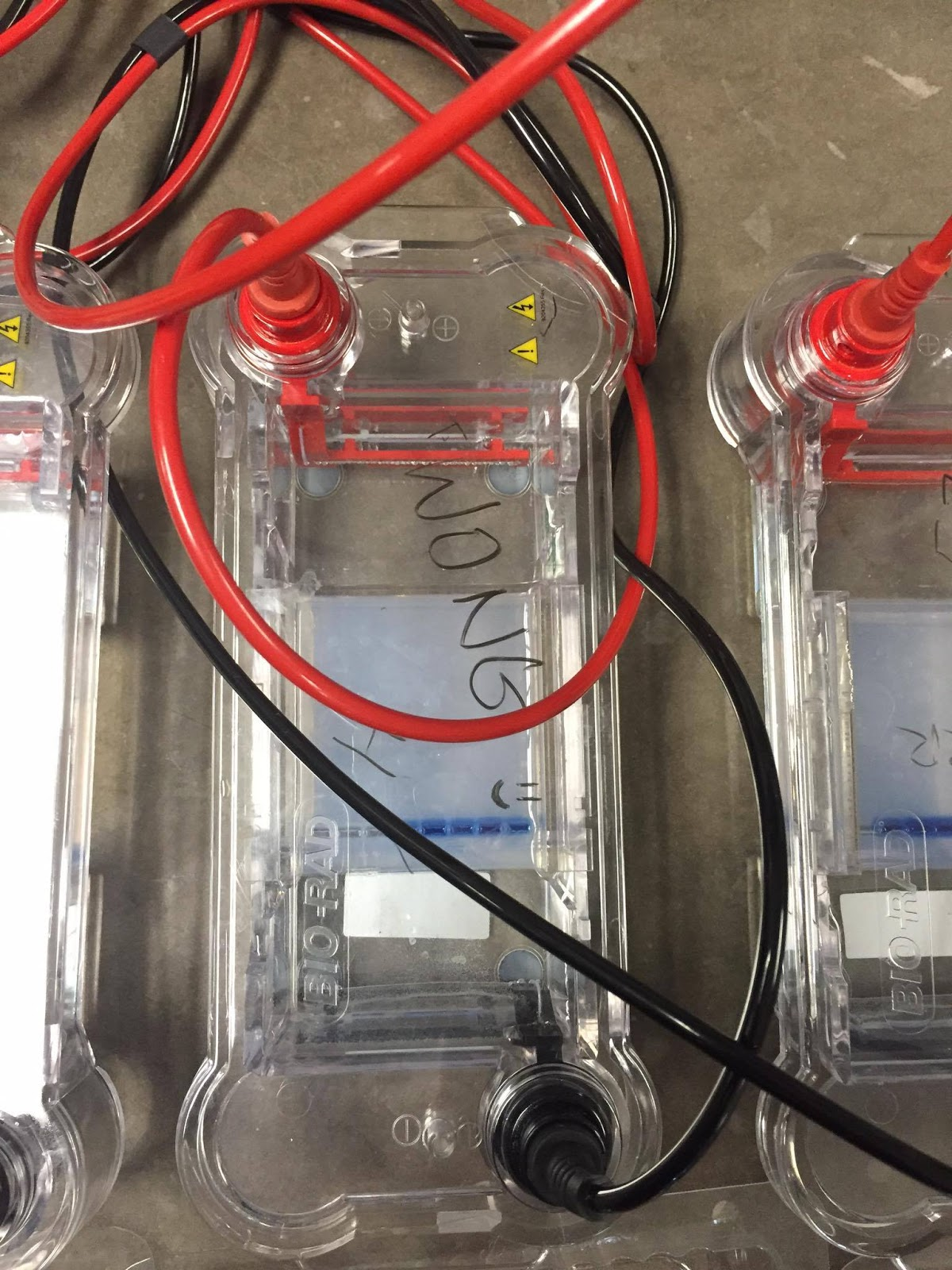biol 2104 lab report 2 electrophoresis