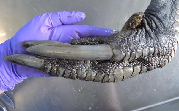 Cassowary loài chim sở hữu đôi chân chết người