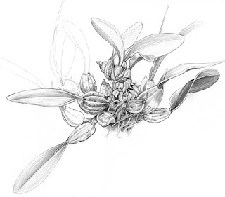 Orchid bulbs drawing