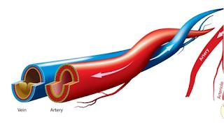 7 Perbedaan Pembuluh Nadi (Arteri) dan Pembuluh Balik (Vena)