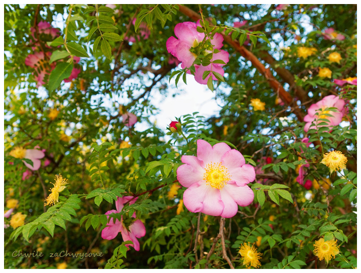 Róża kasztanowa (Rosa roxburghii) forma zwyczajna