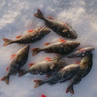 Abbor isfiske fangst