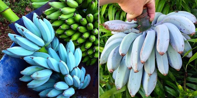 Estos raros plátanos azules saben a helado de vainilla