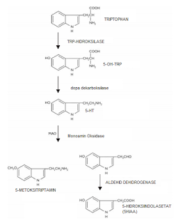 Tahapan degradasi serotonin