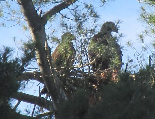 Assabet Eaglets 6/13