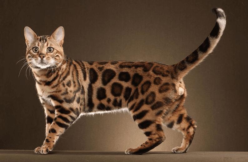 Gambar Kucing Jaman Dulu godean.web.id