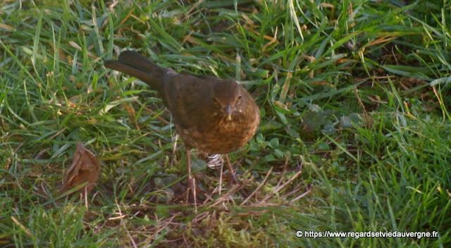 Oiseaux du jardin :  grive