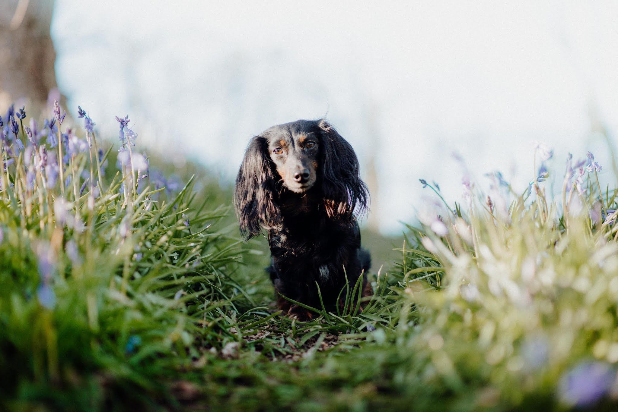 dachshund in bluebells liquid grain scotland
