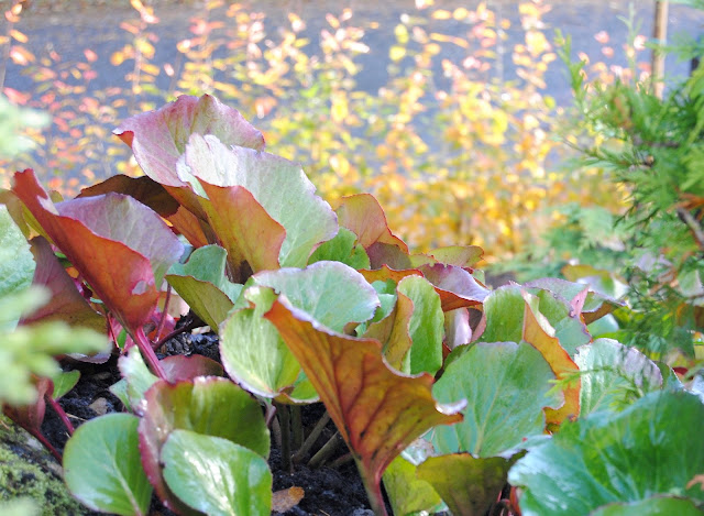 Bergenia cordifolia autumn colors