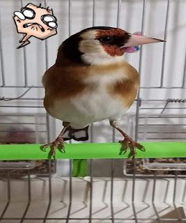 طائر الحسون