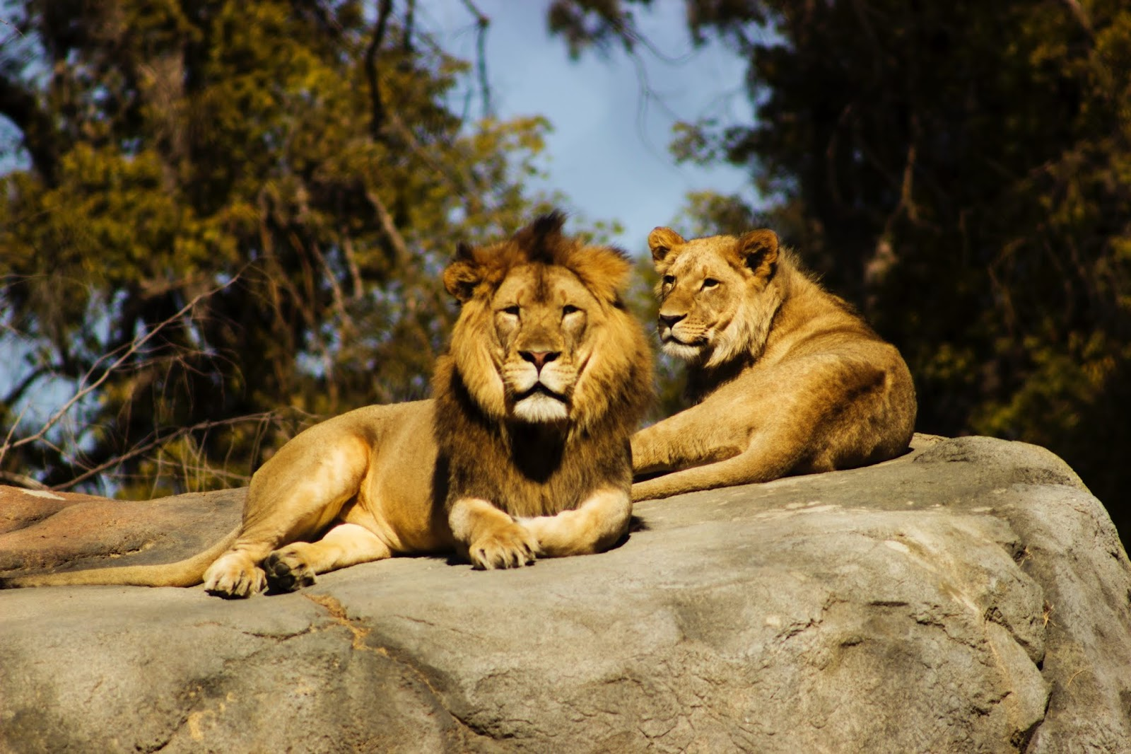 shallow focus photography of lion and lioness,lion images