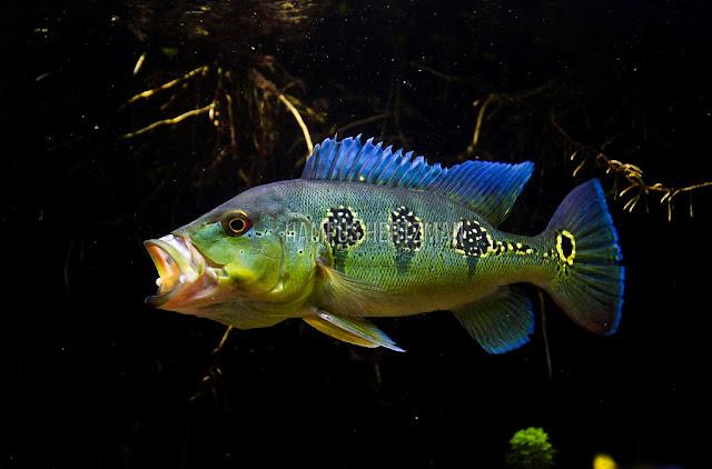 Kenali Klasifikasi Ikan Pbass Berikut Ini!