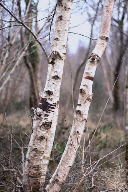 naked birch trees