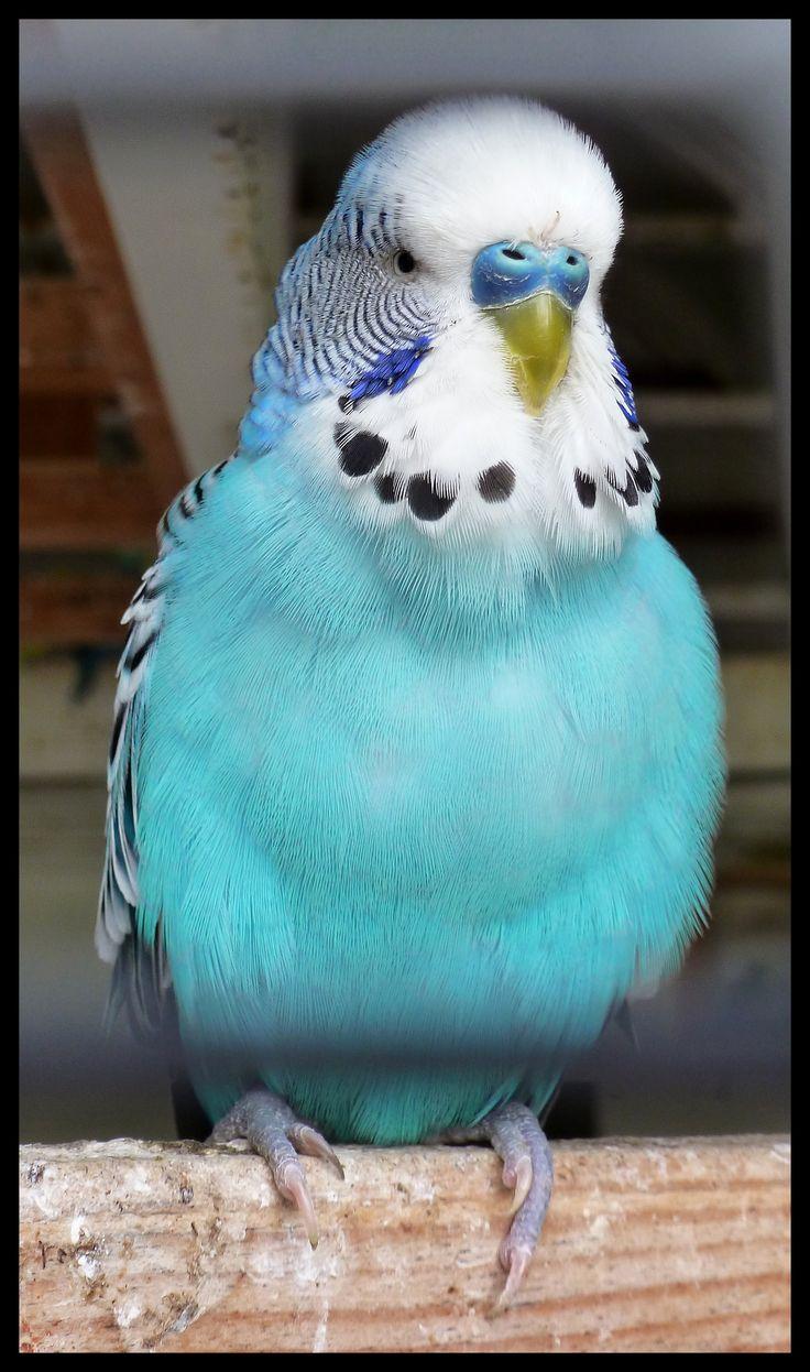 Im 225 Genes De Periquitos Parakeets Vol 1 Imagenes Y