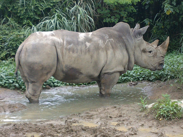 Learn fun and interesting facts about the rhinoceros. Where do they live? What do they eat? What is a crush? How can we we protect them?