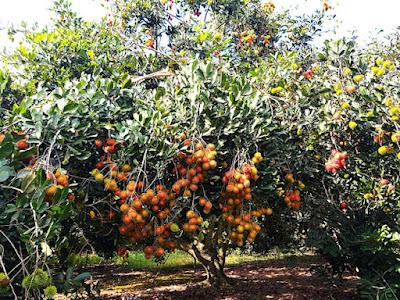 Bán vườn trái cây Xã Bình Lộc Tp.Long Khánh