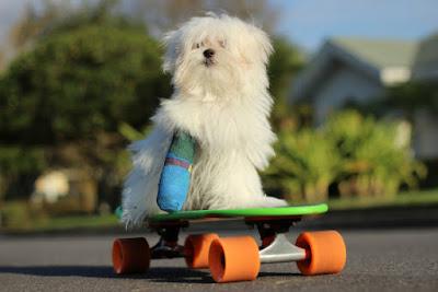 Foto de perrito lesionado practicando deportes extremos