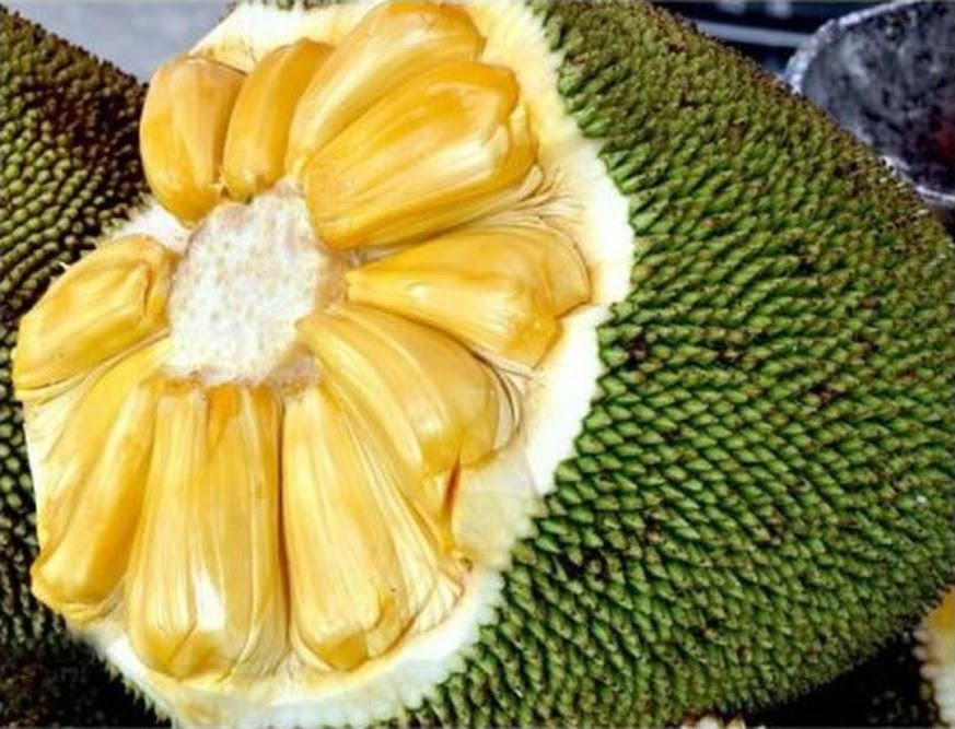 Bibit nangka kandel Sumatra Barat