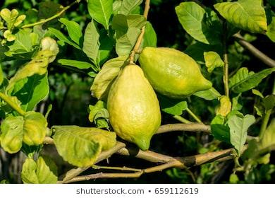 اسباب اصفرار اوراق الليمون 7