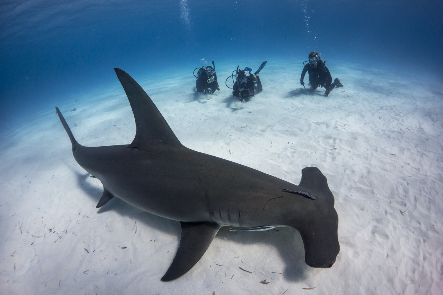 great hammerhead shark pictures - HD1200×800