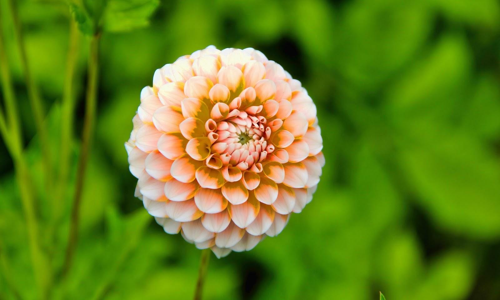 Dahlia Flower HD Wallpapers