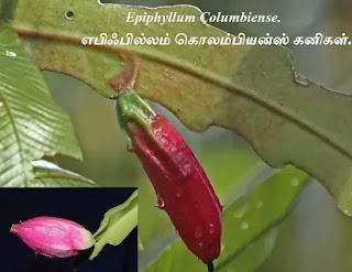 Epiphyllum Columbiense fruit