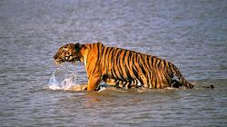 Loài Hổ nào nguy hiểm nhất?