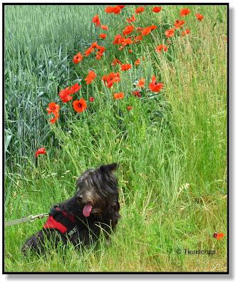 Lotte bei den Mohnblumen