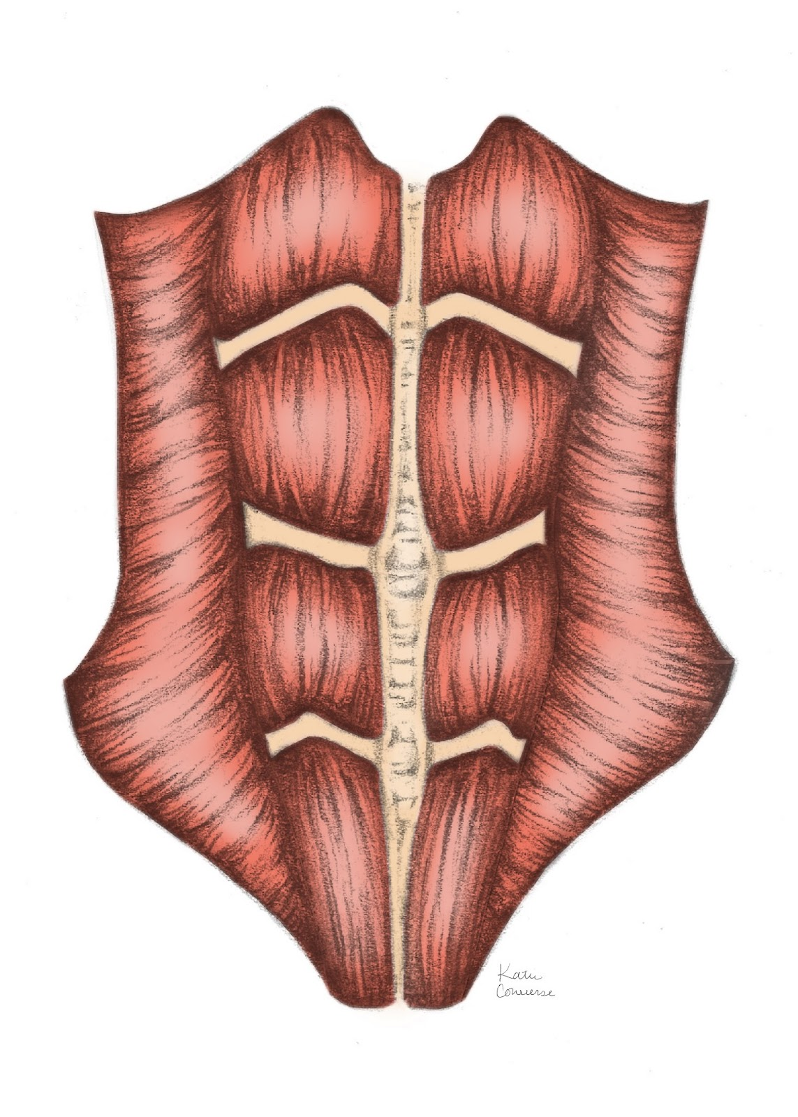 abdominal muscles and connective tissue before pregnancy usually some women may have a separation from previous pregnancy  [ 1143 x 1600 Pixel ]