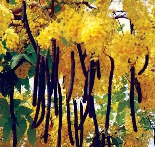 , Siyah renkte meyveleri olan baklagil bitkisi hangisidir