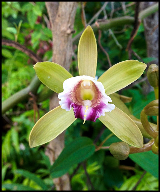 "Vanilla barbellata - ""Worm Vine"" orchid. Endangered native of far south Florida. Fragrant! Flowers in the summer for a few weeks."