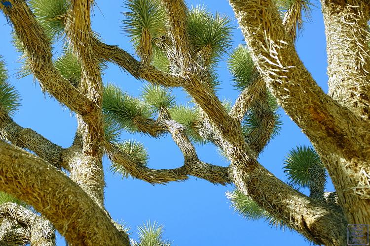 Le Chameau Bleu - Desert de La Californie du Sud - Joshua Tree