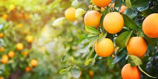 jeruk paling manis