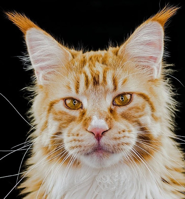 Beautiful ginger and white Maine Coon (tabby)