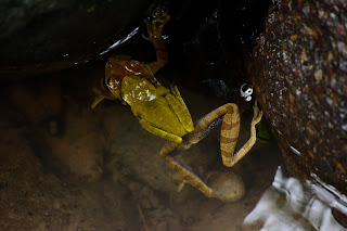 Costa Rica yellow frogs