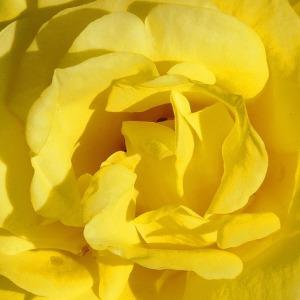Mawar kuning melambangkan keceriaan dan pertemanan