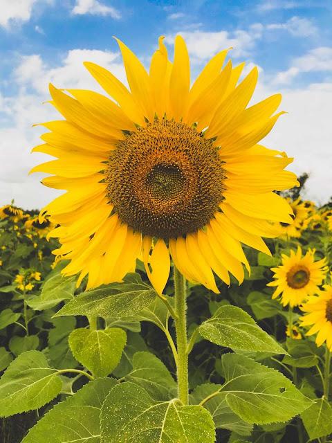 cute sunflower wallpaper