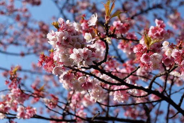 Bunga sakura terbaik