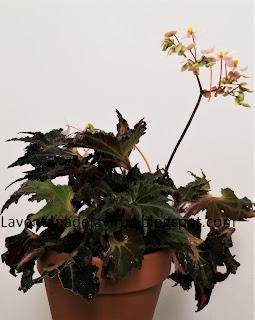 planta-begonia-breakdance