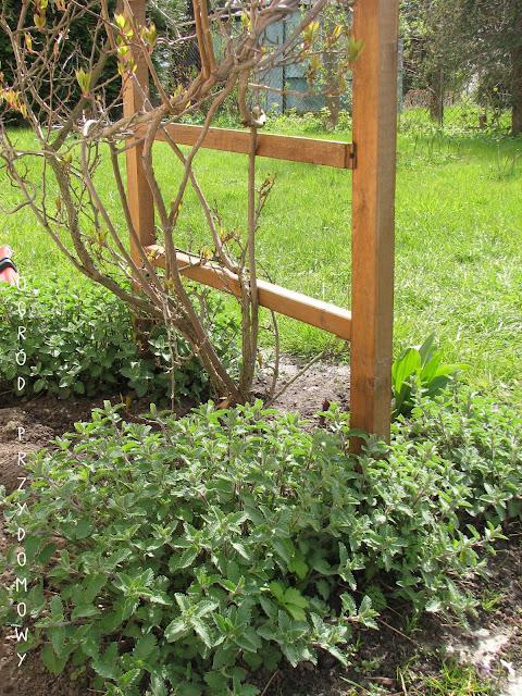 kocimiętka w ogrodzie