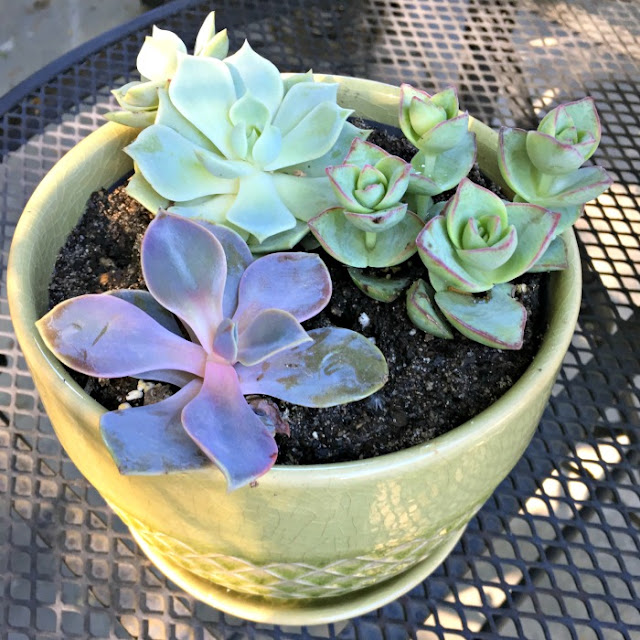 green and purple succulents, rose succulent