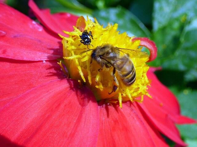 Australian bees are sucking on nectar