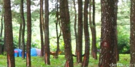 wisata baru di banyuwangi,hutan pinus songgon, wisata alam songgon, tempat wisata hutan pinus
