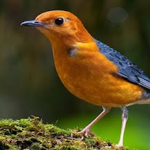 Cara Membuat Burung Anis Merah Dan Anis Kembang Mabuk